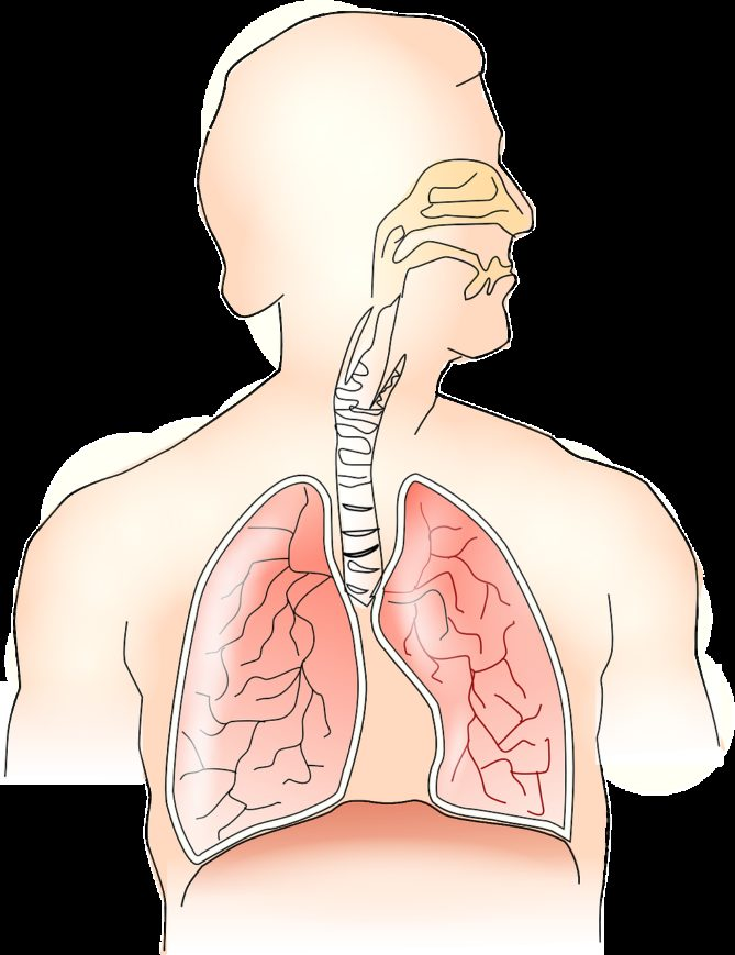 anatomy, lungs, breathing