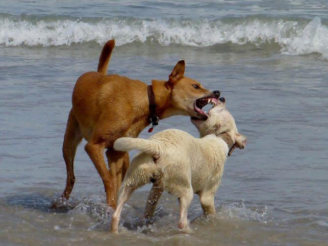 dogs, beach, play