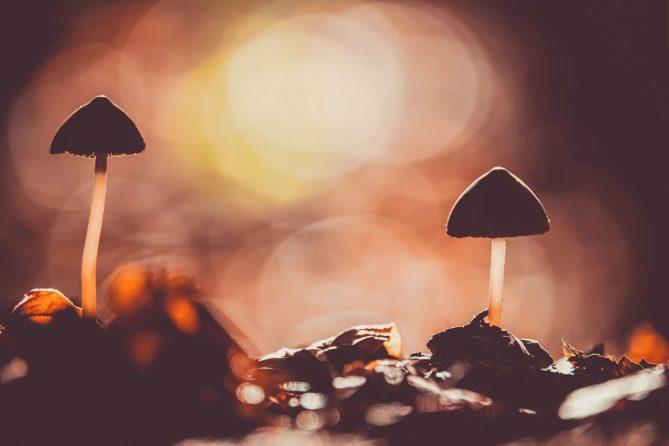 mushroom, agaric, screen fungus