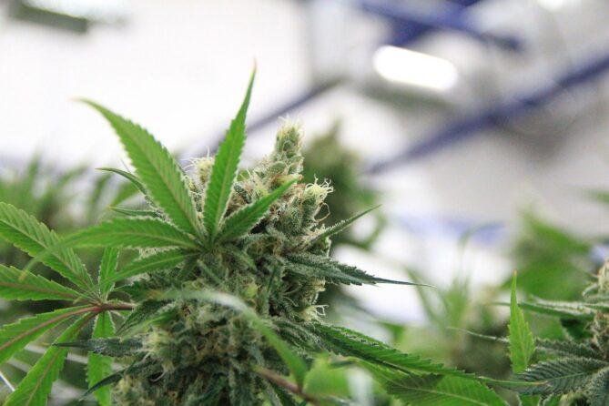Cannabinol – wie wirkt CBN?