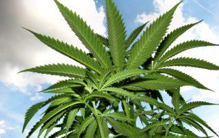 CBD Öl, CBD: Cannabis/Hanf