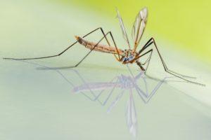 West-Nil-Virus-Erkrankung, Stechmuecke, Insektenvernichter