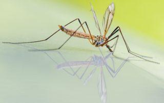 Stechmuecke, Insektenvernichter