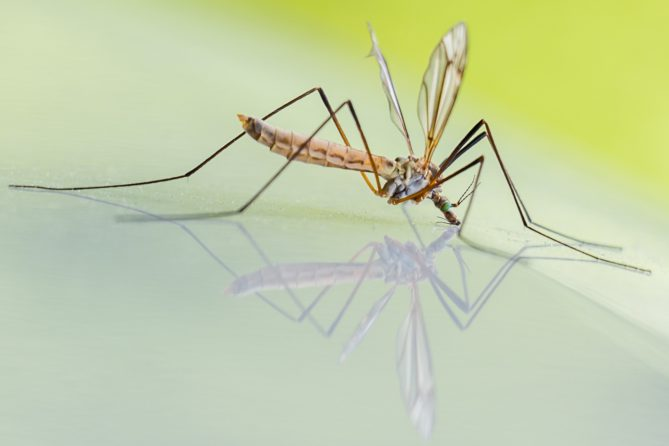 Gemeinsam für den Insektenschutz, West-Nil-Virus-Erkrankung, Stechmuecke, Insektenvernichter